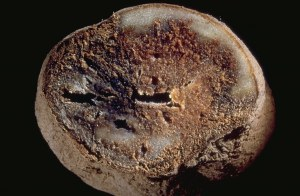The fungus Phytophthora infestans was responsible for the great potato blight of 1846. The strain had its origins in Mexico at the time of the Spanish conquest in the 16th century.