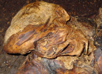 "The head of Lindow Man, the most dramatic example of a British bog body. He had suffered a ""triple death,"" attacked with an axe and garrotted before having his throat cut."