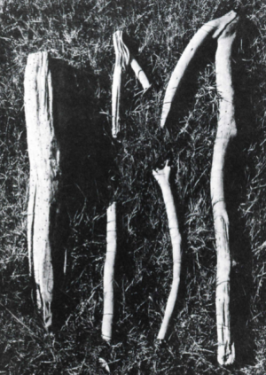 "Examples of the wooden ""pegs"" associated with the body known as Queen Gunhild, and thought to have been used to stake her body to the bottom of a bog."