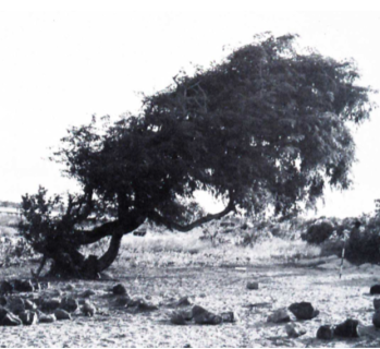 The remains of the trade: a tamarind tree, planted by Makassan trepangers, and an abandoned hearth, photographed at Melville Bay in 1967.